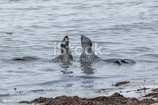 High quality stock photos of adolescent Elephant seals at California's Anu Nuevo state preserve.