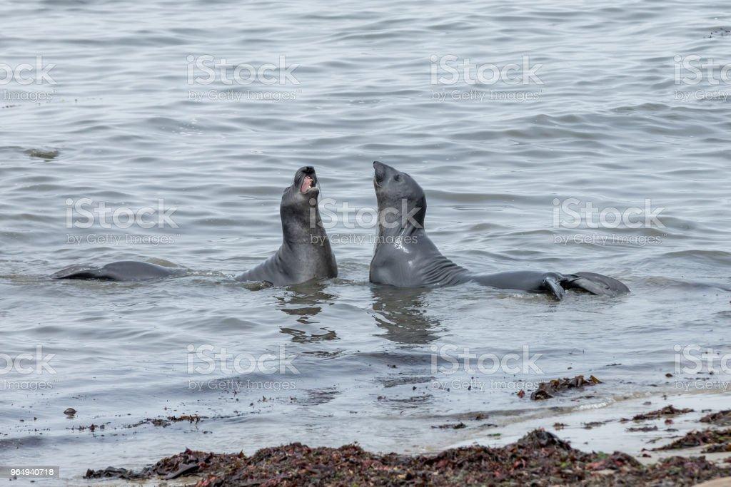 Elephant Seals at Ano Nuevo stock photo