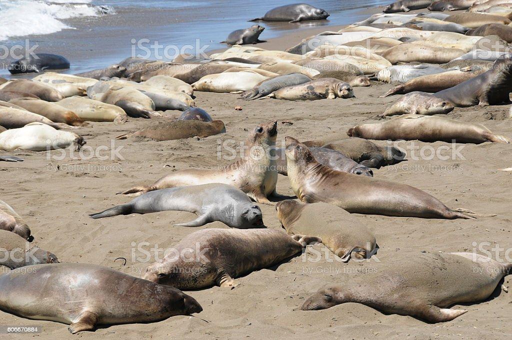 Elephant Seals in Piedras Blancas near San Simeon stock photo