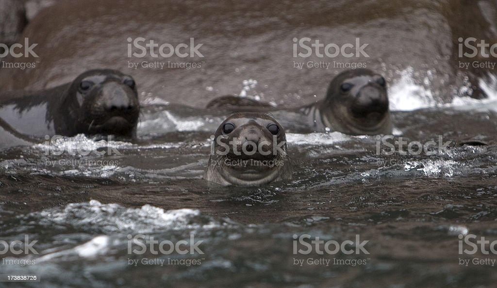 Elephant Seals stock photo