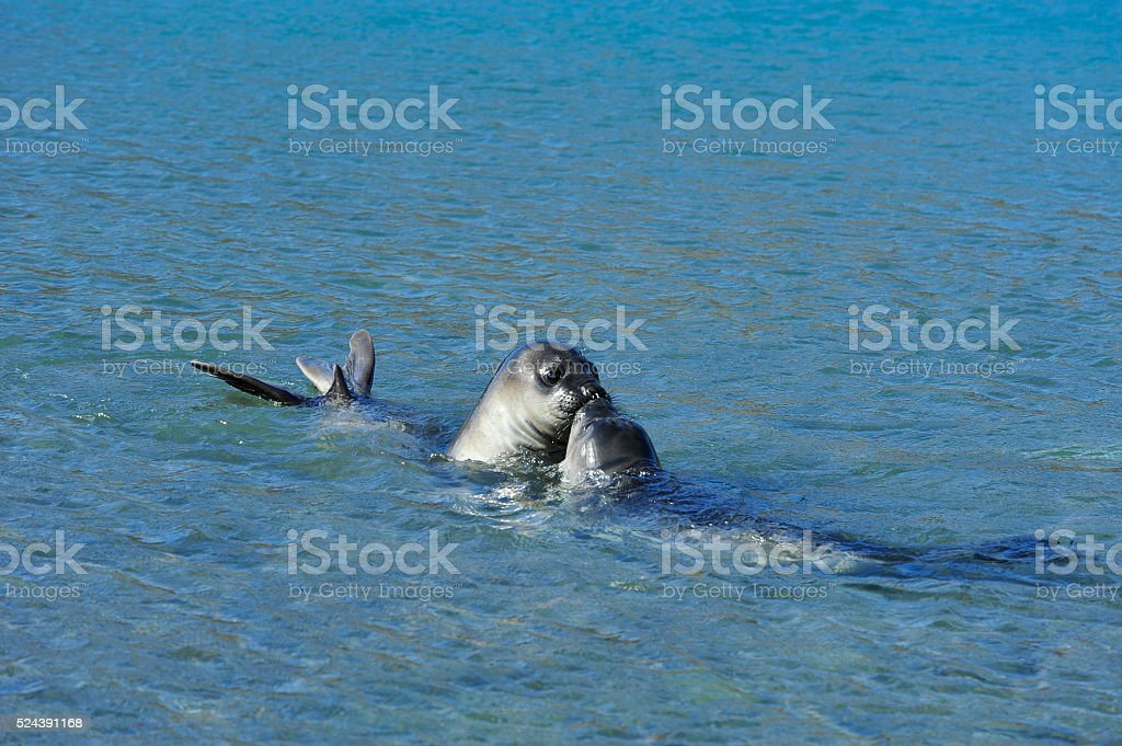 elephant seals pups stock photo