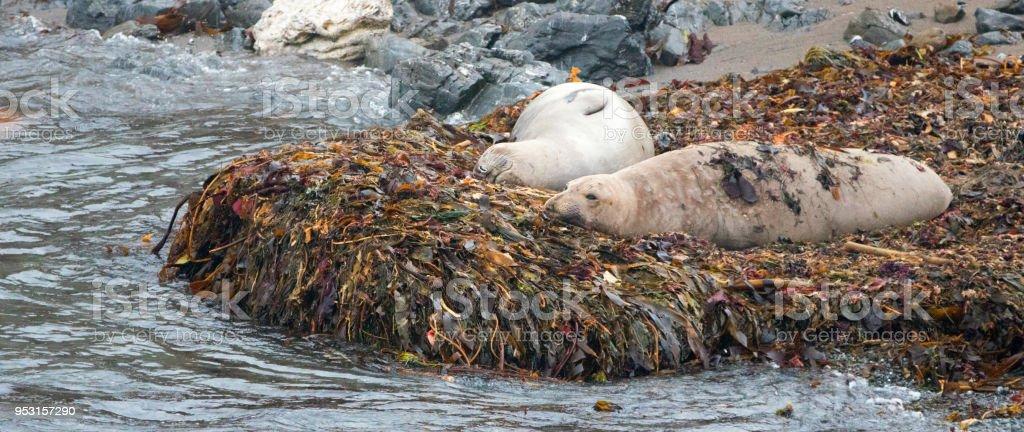 Seeelefanten Ruht Auf Seetang Bett Am Strand Von Piedras Blancas An