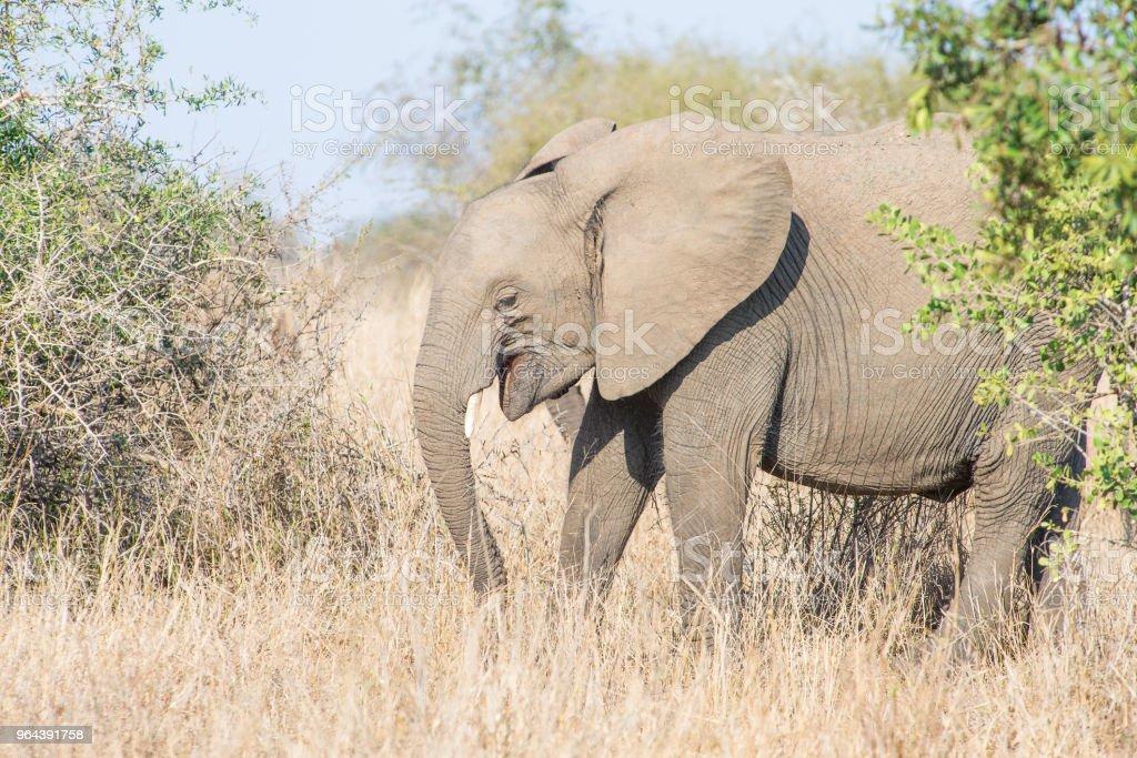 Olifant schijn te glimlachen - Royalty-free Afrika Stockfoto