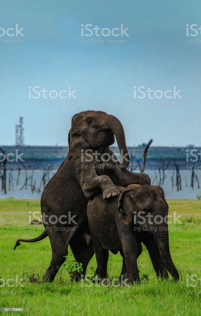 Elephant sex pic galleries