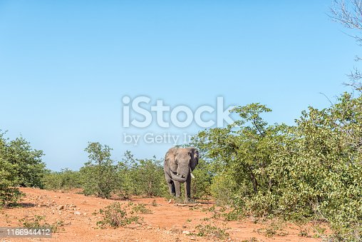 A male African Elephant, Loxodonta africana, showing aggressive behavior with its trunk