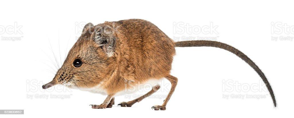 Elephant shrew - Macroscelides proboscideus - isolated on whitre stock photo