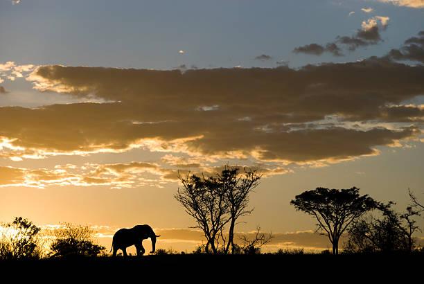 elephant silhouette bei sonnenuntergang - elefanten umriss stock-fotos und bilder