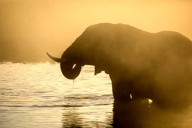 Elephant silhouette in yellow dust in etosha national park picture id1142393449?b=1&k=6&m=1142393449&s=612x612&w=0&h=ct30fog22wqay8mhxvafedmd3mrwratxbbsfsssh6po=