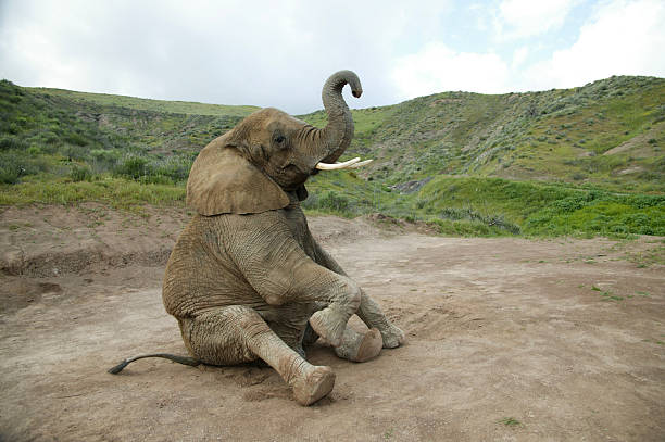 Elephant sitting Shot on Canon EOS 1ds with 24-70mm lens. animal trunk stock pictures, royalty-free photos & images