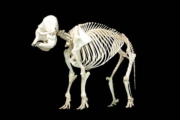 Elefanten Skelett – Foto