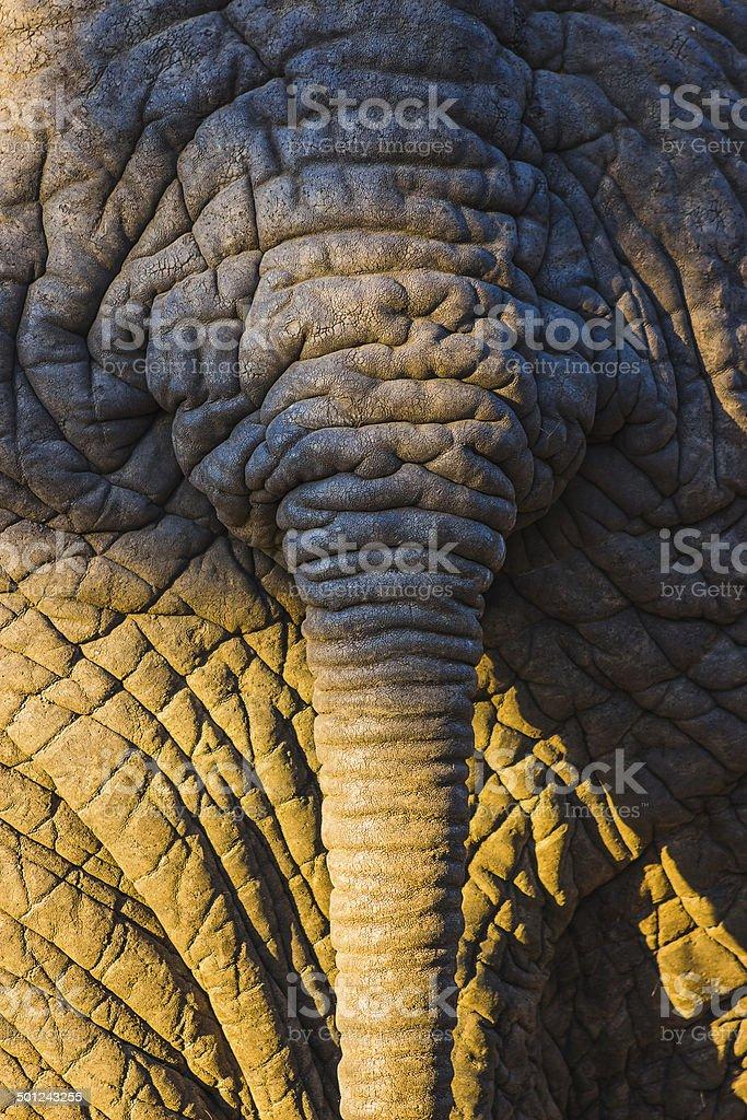 afrikanische schwanz pic