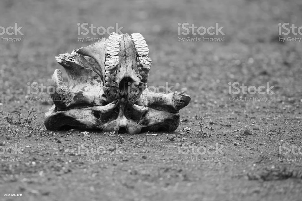 Elephant skull laying on dry ground in the harsh sun artistic conversion stock photo