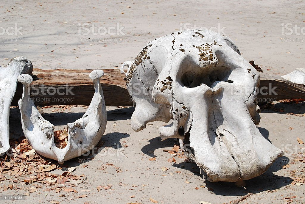 Elephant Skull royalty-free stock photo