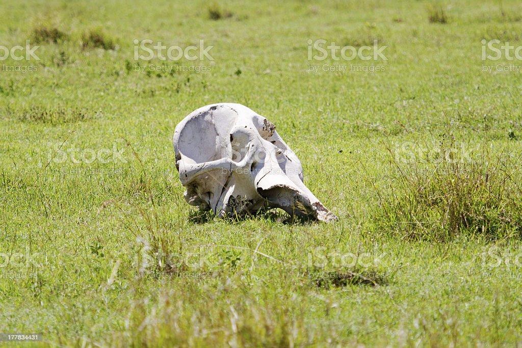 Elephant skull royalty-free stock photo
