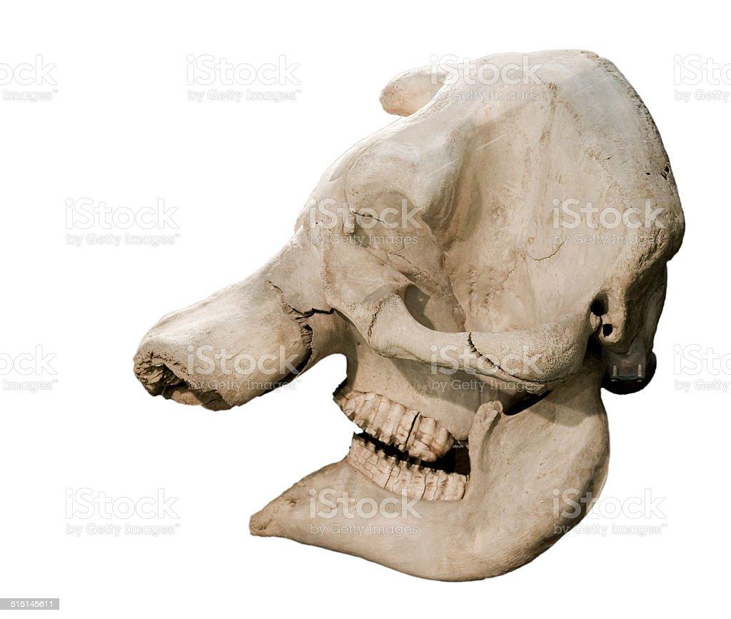 Fotografía de Elefante Cráneo y más banco de imágenes de Animal ...