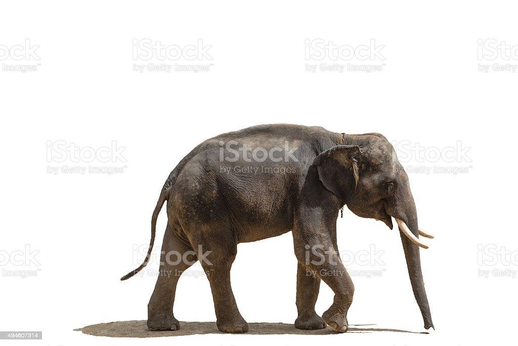 Elephant smile stock photo