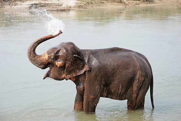 Elephant splashing with water Elephant splashing with water while taking a bath in Chitwan National park, Nepal animal trunk stock pictures, royalty-free photos & images