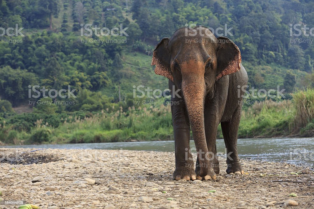 Elephant Standing by River stock photo