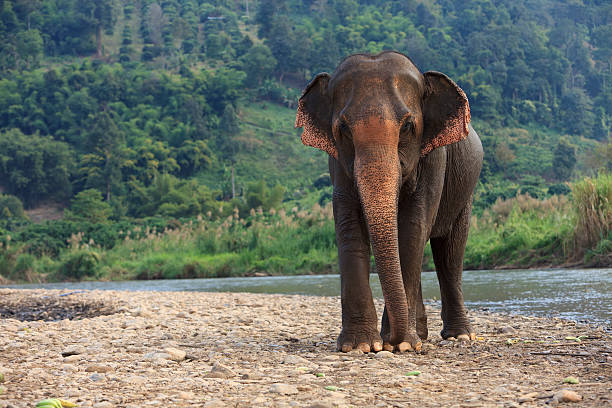 Best Indian Elephant Stock Photos Pictures Royalty Free