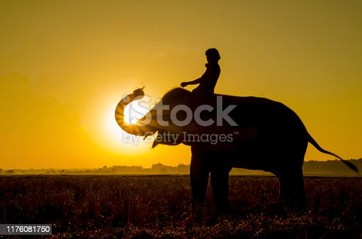 Elephant standing in a rice field with the mahout.Surin,Thailand.