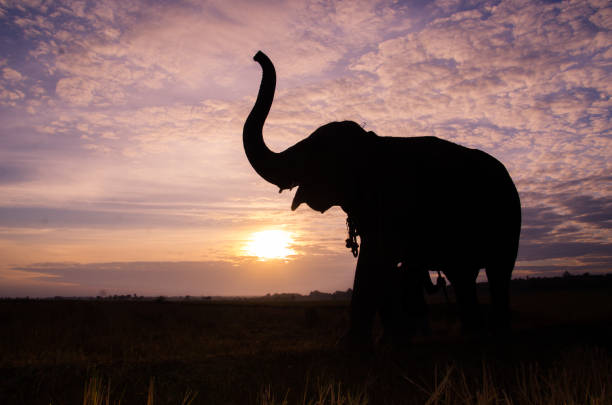 elefant stehend auf einem reisfeld in den morgen. elefanten-dorf im nordosten von thailand, schöne beziehung zwischen mensch und elefant - elefanten umriss stock-fotos und bilder
