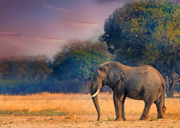 Elefant stehend auf den Ebenen mit einem Sonnenuntergang Himmel – Foto