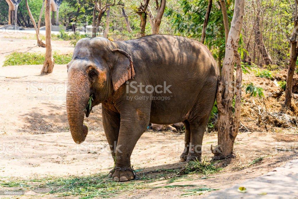 Elefanten stehen unter einem Baum & Rasen mit Essen am Zeh durch Kette Seil im Zoo gesperrt. - Lizenzfrei Asien Stock-Foto