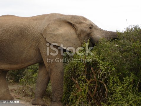 istock Elephant stretching for food 181154768