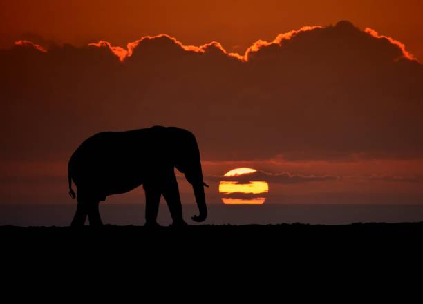 elephant sonnenuntergang - elefanten umriss stock-fotos und bilder