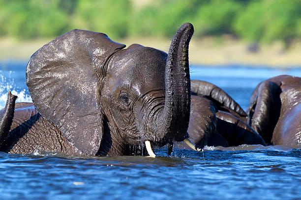 Elephant swimming stock photo