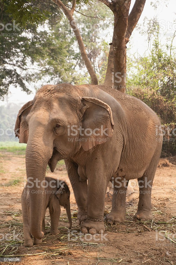 Elephant, Thailand, northern thailand stock photo