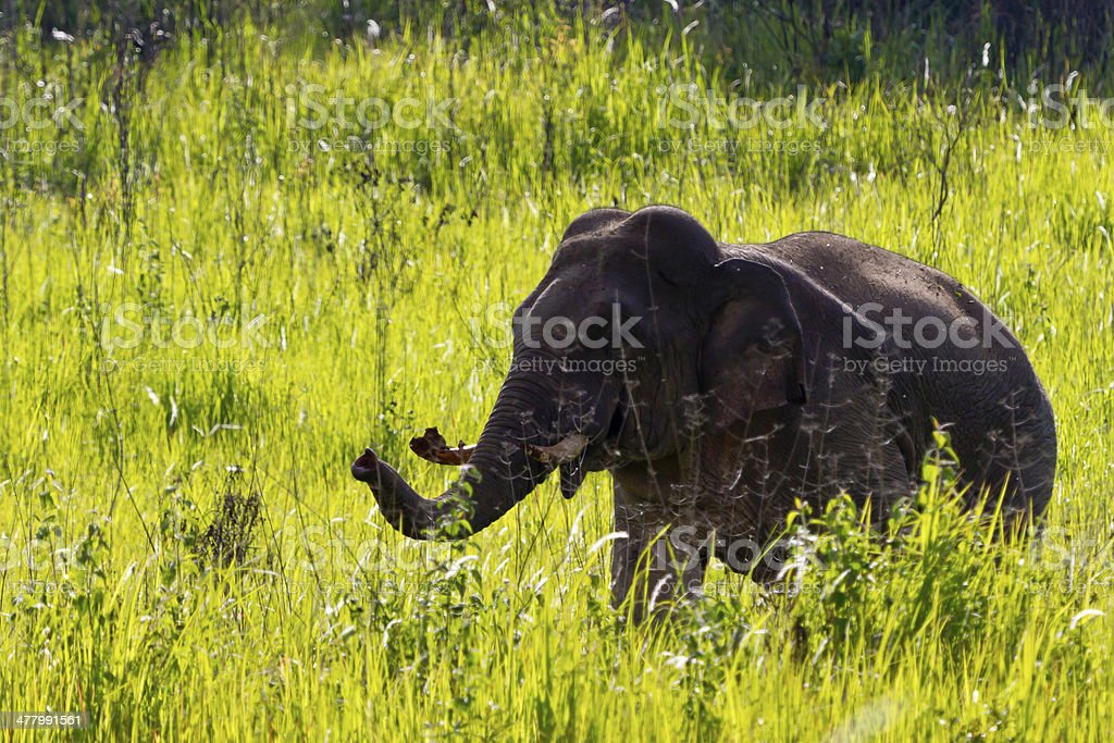 Elephant Thailand. royalty-free stock photo