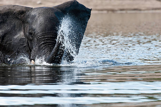 Elephant throwing water inside a lake or river stock photo