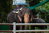 Suratthani, Thailand - December 2, 2018: Elephant Tricking, Koh Samui, Thailand at Namuang Waterfall Elephant Trekking on the December 2, 2018 in Samui Island, Suratthani, Thailand.