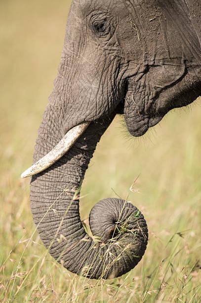 Elephant trunk and tusk stock photo