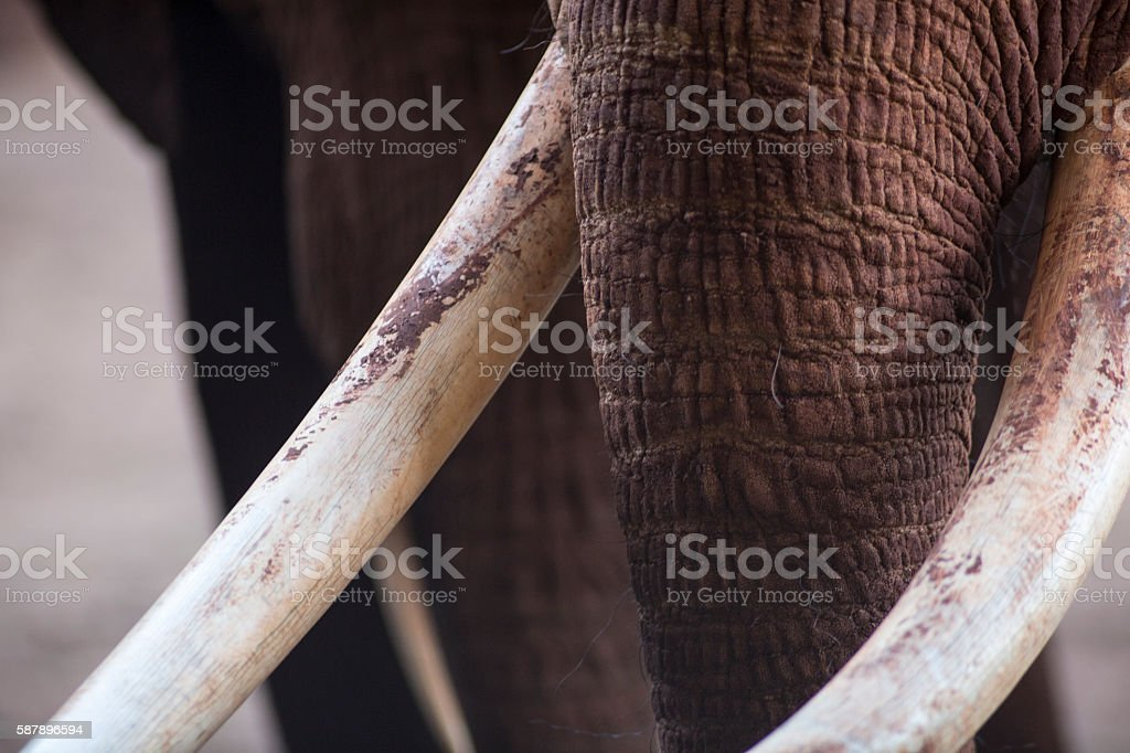 Elephant tusks stock photo