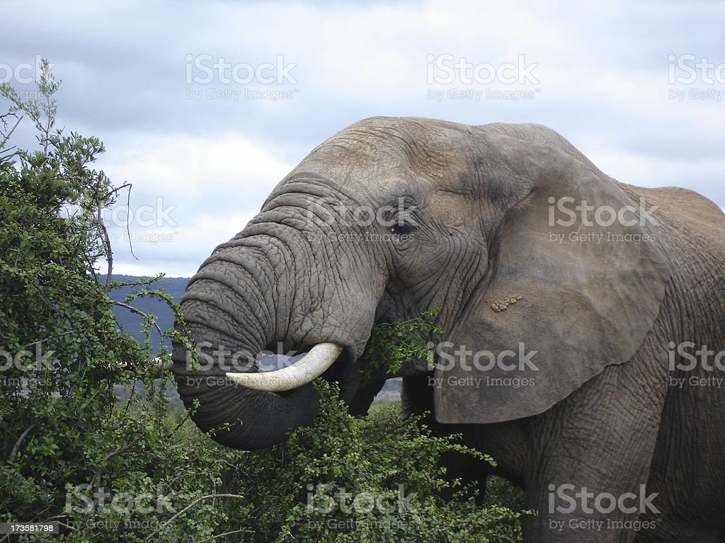 Elephant using it's trunk to feed stock photo