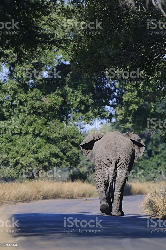 Elephant walk in South Africa royaltyfri bildbanksbilder