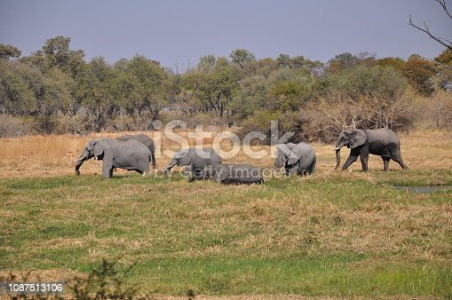 1137909085 istock photo Elephant walking in the Okavango Delta 1087513106