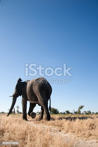 istock Elephant walking in the veld 508520690