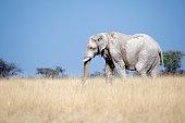 Elephant  in Etosha NP - Namibia