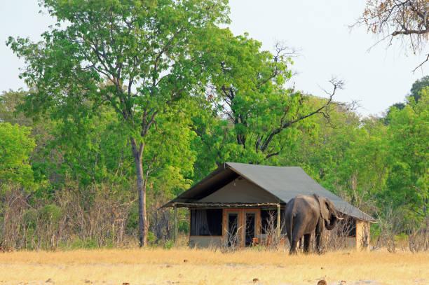 Elefant zu Fuß durch ein afrikanisches Safari-Lager neben einem Strohhaus – Foto