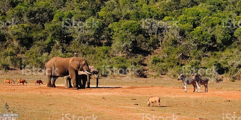 Elephant, warthog and zebra at the water hole stock photo