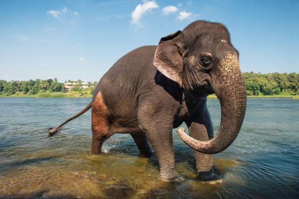 Elephant washing in the river stock photo
