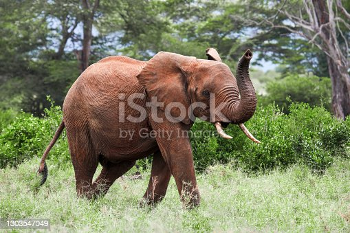 Elephant running with a trunk raised