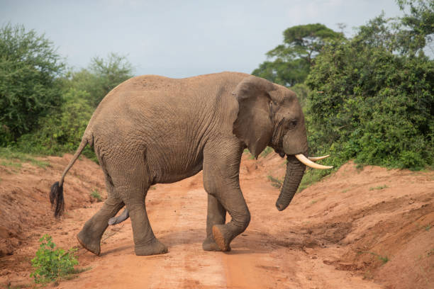 Elephant with an erect penis walking in Murchison Falls National Park during a safari Elephant with an erect penis walking in Murchison Falls National Park during a safari, Uganda animals with big penis stock pictures, royalty-free photos & images