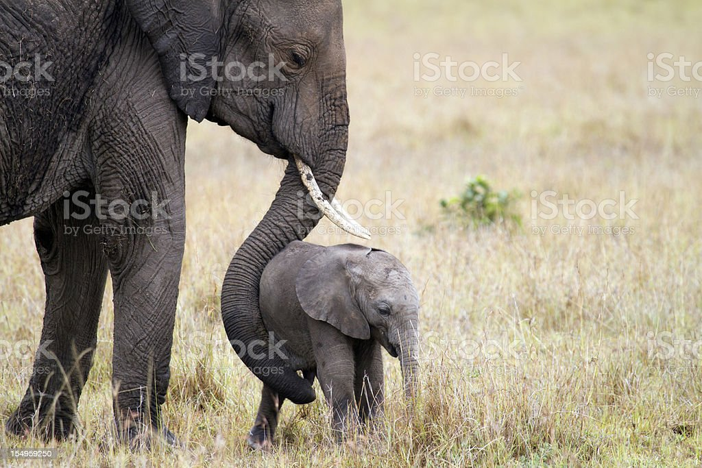 Elephant with baby, Masai Mara, Kenya stock photo