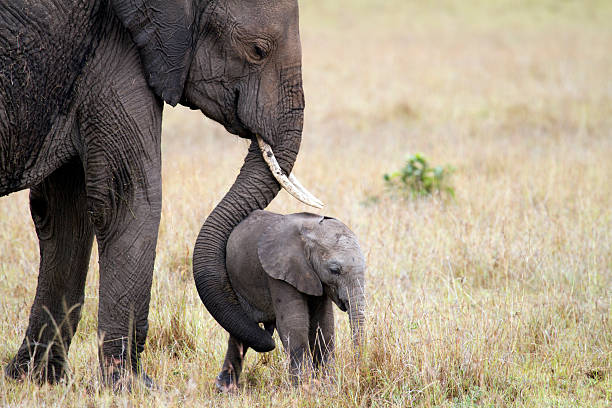 Elephant with baby, Masai Mara, Kenya Elephant mother with her young child, Masai Mara National Park, Kenya masai mara national reserve stock pictures, royalty-free photos & images