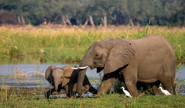 elefant mit baby in der nähe des zambezi flusses. - fluss sambesi stock-fotos und bilder