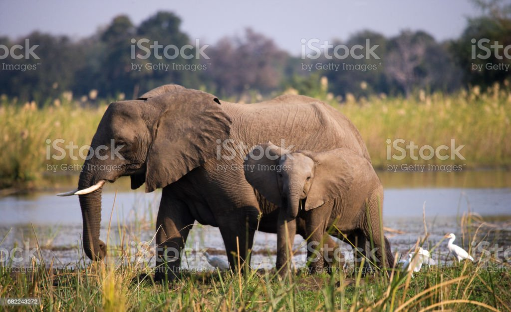 Elephant with baby near the Zambezi River. stock photo